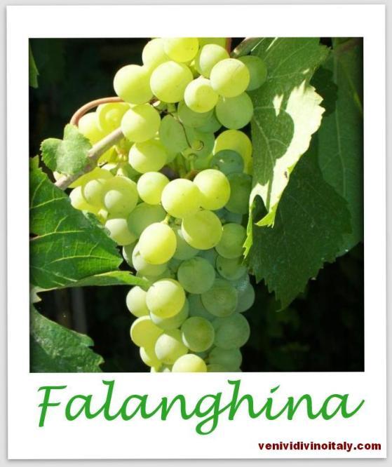 falanghinagrape-001